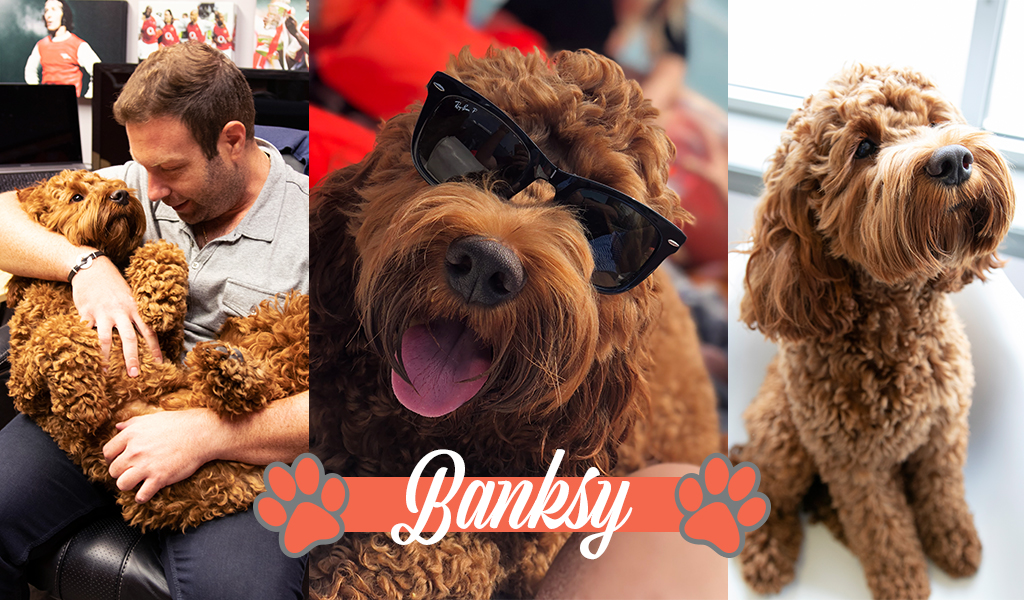 Banksy the cockapoo wears sunnies and reclines in his dad's lap