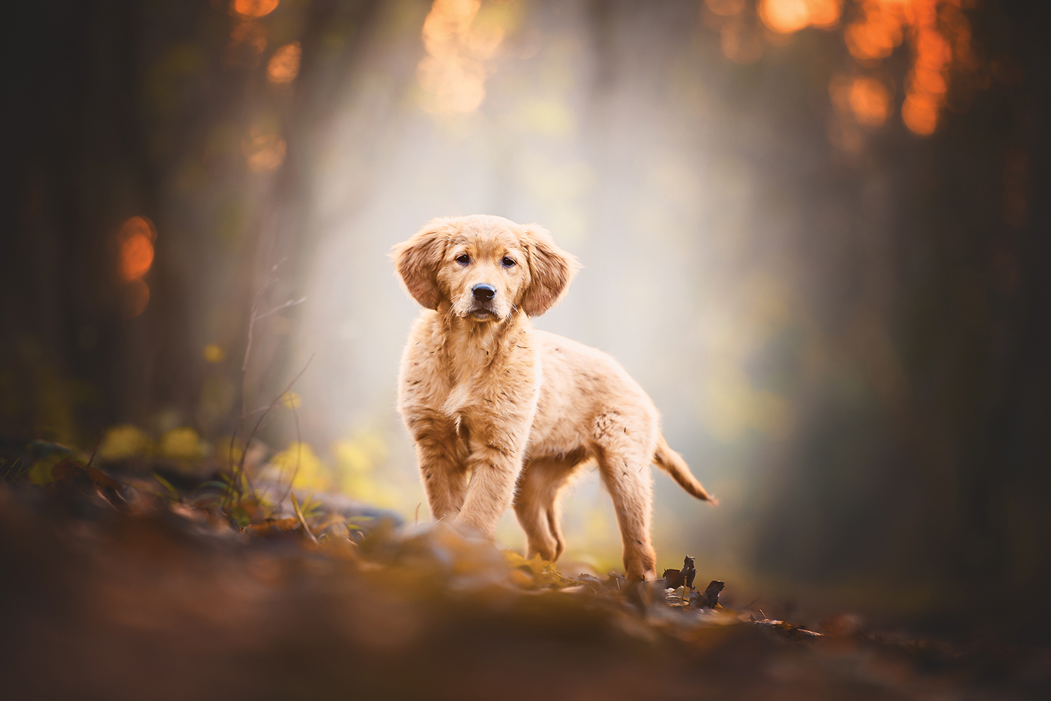 Photo of cute golden retriever puppy in an autumn setting with leaves