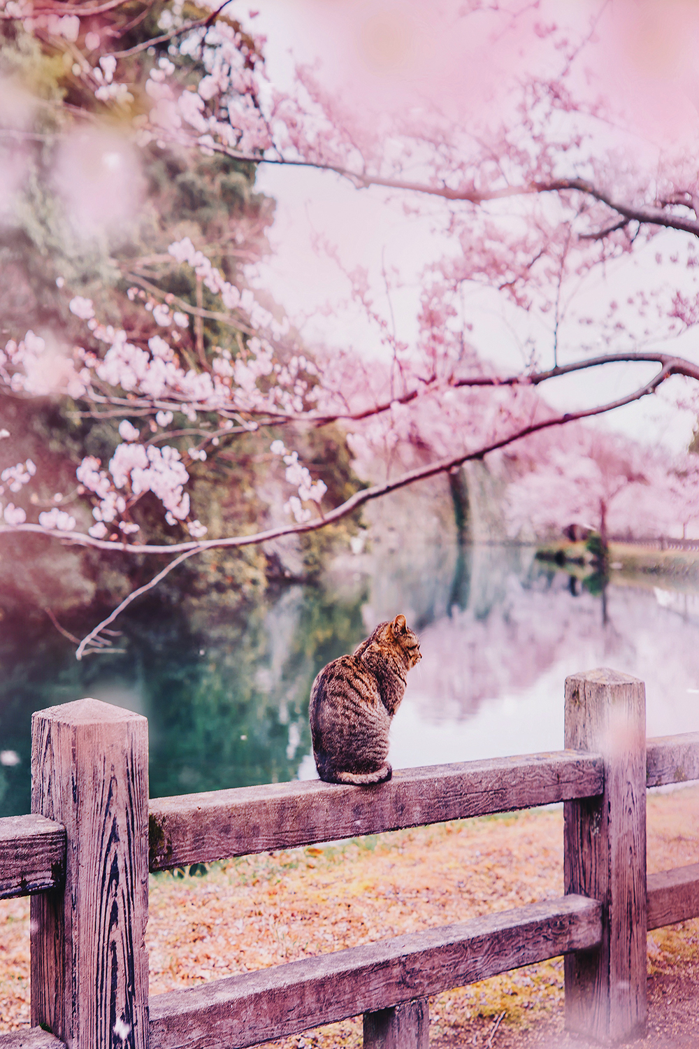 Photo of a striped cat sitting on a fence underneath a pink cherry blossom tree next to a river