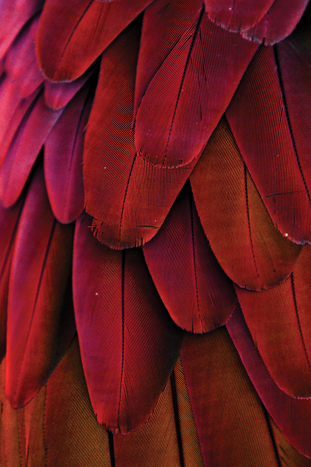Close-up photography of red macaw feathers