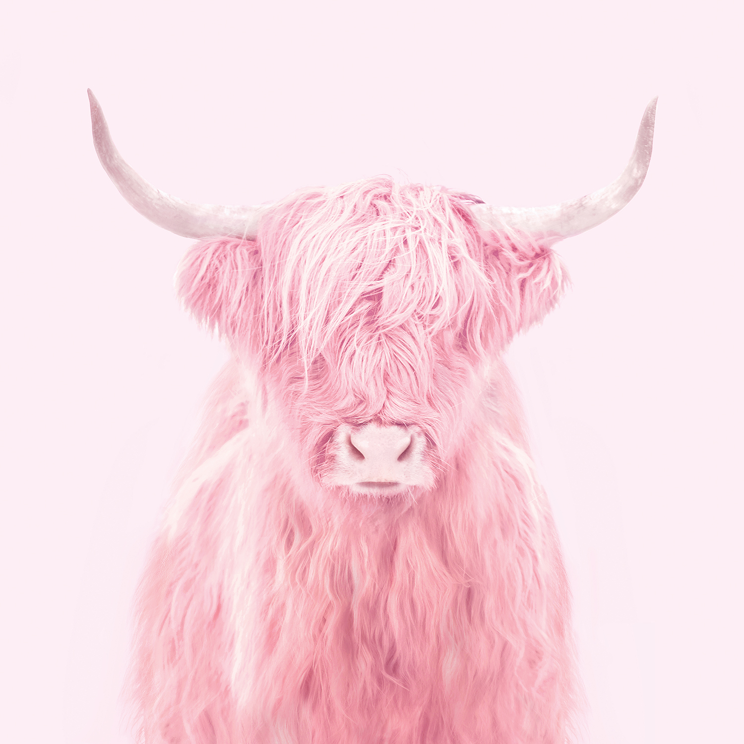 Photo of a highland cow with hair covering its eyes in a pink color tone