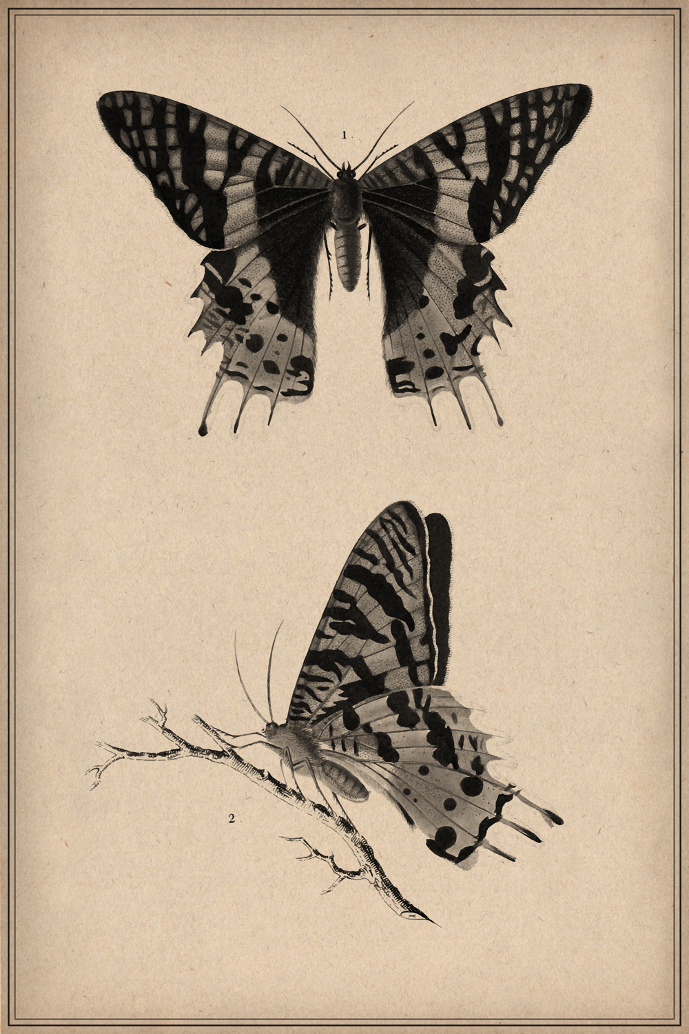 Vintage scientific illustration of front and profile of a butterfly
