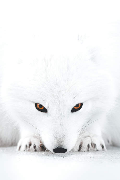 a close up portrait of an all white fox in the crouched position with its black eyes and nose