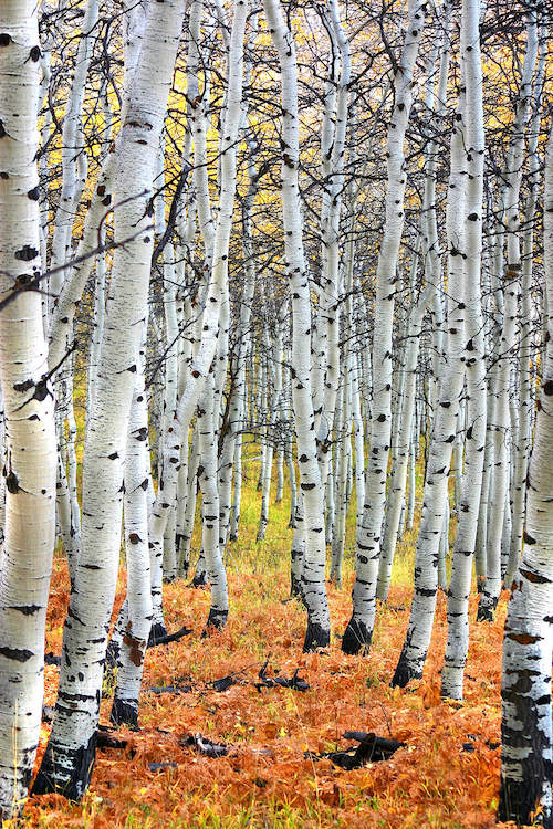 Cluster of white birch trees in autumn with orange and yellow leaves on the ground