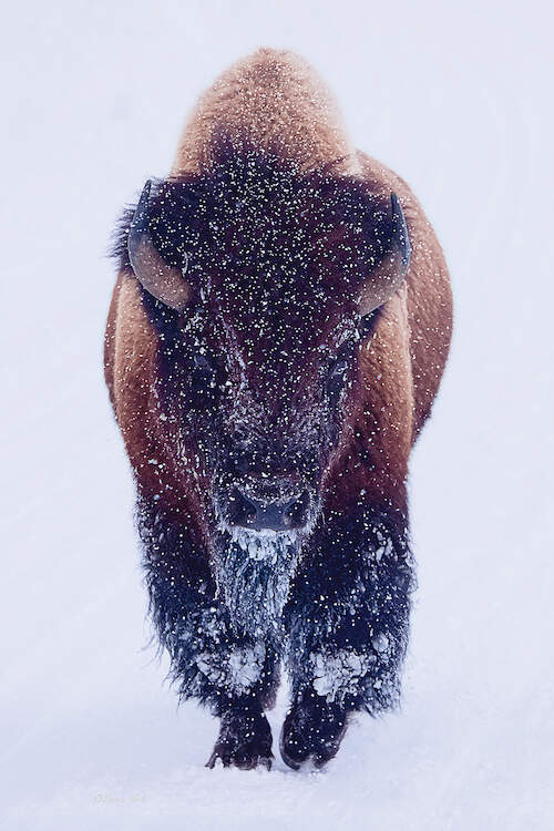 Photo of a large bison walking through the snow
