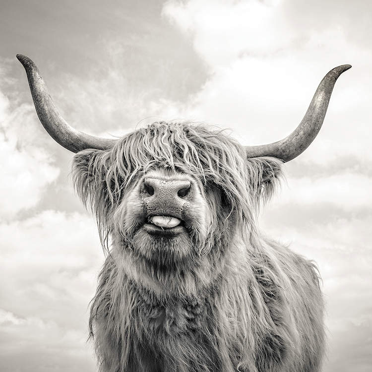 Black and white photo of a highland cow with hair over its eyes sticking out its tongue