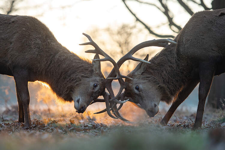 """""""Dawn Contact"""" by Max Ellis shows two dawns hunched over with their antlers intertwined."""