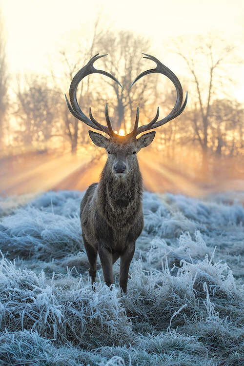 """""""Love You Deer Fire And Ice"""" by Max Ellis shows a deer standing in frost-covered grass while the sun shines through its heart-shaped antlers."""