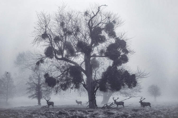 """""""Mistletoemist"""" by Max Ellis shows four stags standing under a sparse tree on a misty day."""