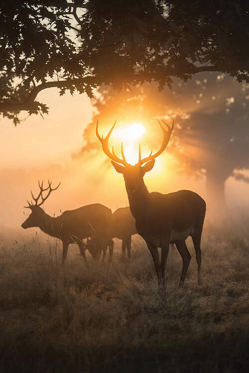 """""""Misty Magic"""" by Max Ellis shows three stags standing under trees while the golden sun shines over them."""
