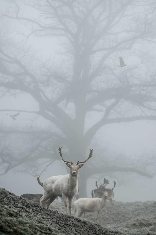 """""""Most Mist"""" by Max Ellis shows two white stags standing in front of a bare tree covered by mist."""
