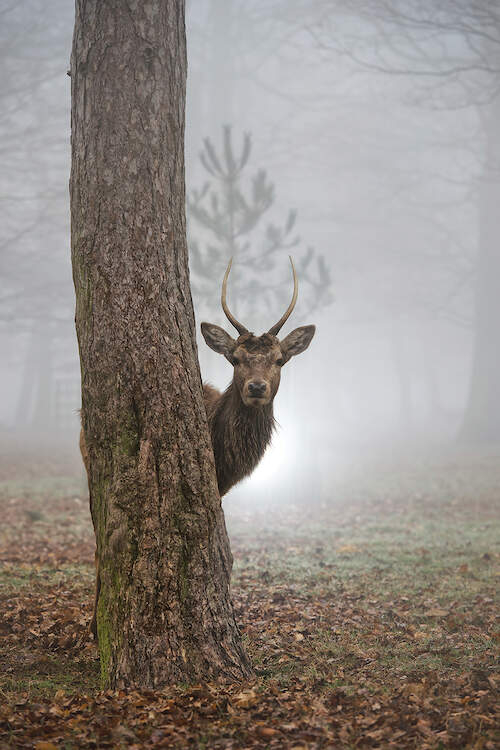 """""""Peekaboo"""" by Max Ellis shows a stag peeking its head out behind a tree."""
