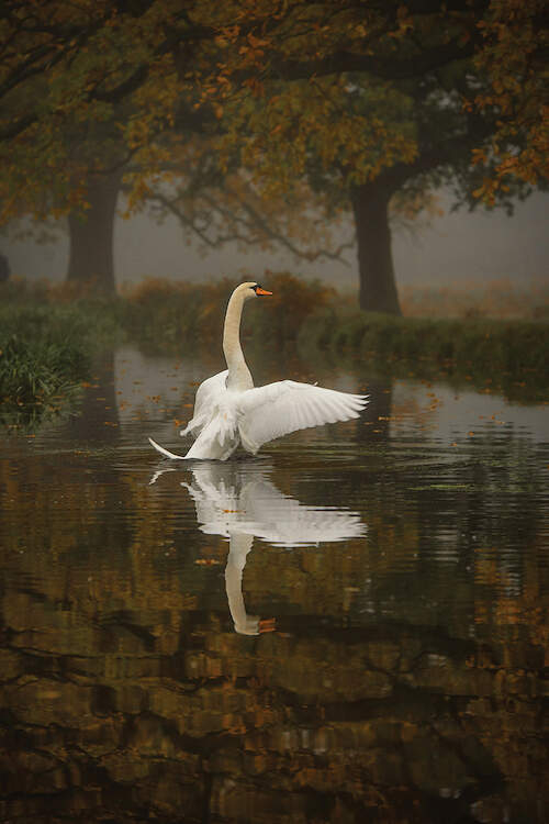 """""""Solo Swan"""" by Max Ellis shows a swan flapping its wings in a lake under green trees."""
