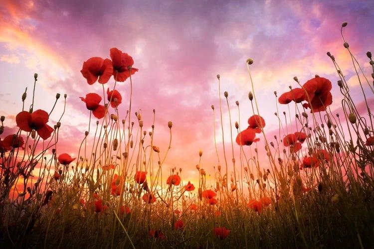 Poppy field at sunset by iCanvas artist Adrian Borda